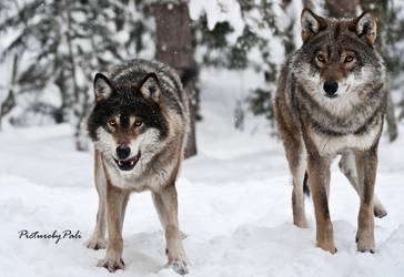 Two Grey Wolves by PictureByPali