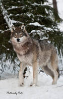 New Generation Grey Wolves by PictureByPali