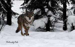 Running Wolf by PictureByPali
