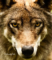 The Grey Wolf Canis Lupus I by PictureByPali