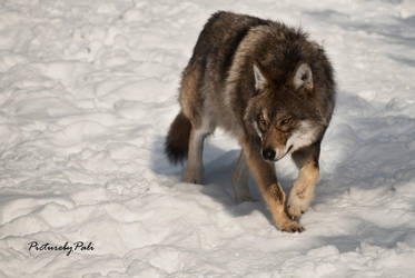 One Scary looking Wolf by PictureByPali