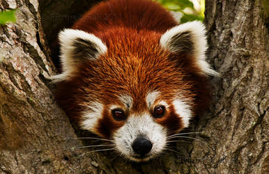 The Red Panda by PictureByPali