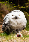 The Snowy Owl by PictureByPali