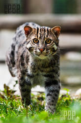 The Fishing Cat by PictureByPali