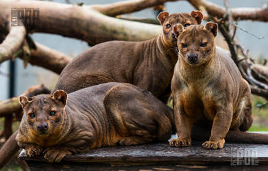 A family of Fossa by PictureByPali