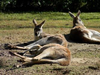 Kangaroos by Elaira