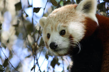 Red Panda 10 L by Cilmeron