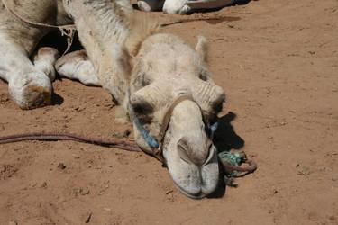 Camel by Cilmeron