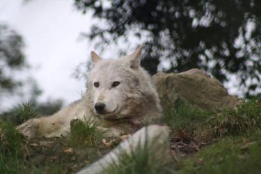 Grey Wolf Dublin Zoo by Cilmeron