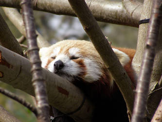 Red Panda by Cilmeron