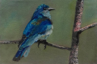 Western Bluebird by douglascampos