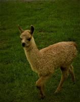 llama  llama llama by Ambruno
