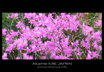Wild azalea by Lou-NihonWa