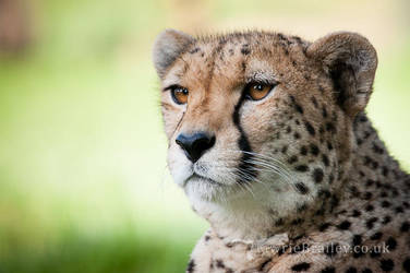 International Cheetah Day by Chikrata