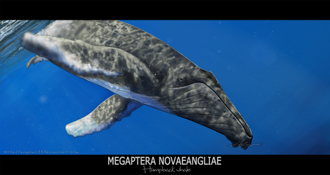 Megaptera novaeangliae by AngelMC18
