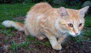Orange Cat Stock 4 by VampyKit