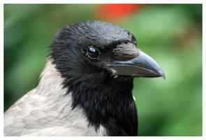 Hooded crow by Malgorzata-Skibinska