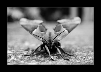 Moth by Dandelion-lion