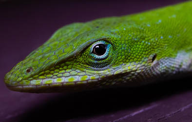 Green Anole by NC-StormChaser