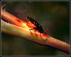 Magma Bug by Mantis-nk