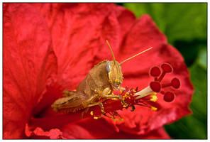 Grasshopper frontal by Mantis-nk