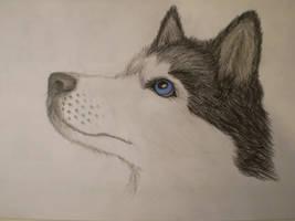 Siberian Husky by MustaVuona