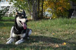Siberian Husky Stock 001 by EssenceOfPerception