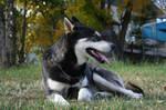Siberian Husky Stock 002 by EssenceOfPerception
