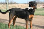 Rotti Dog Stock 005 by EssenceOfPerception