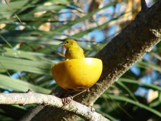 Bird in a Grapefruit by meadowlarkmaryanne