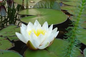 Waterlilies by Jantiff-Stocks