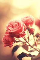 The allure of roses by Kokopa