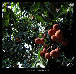Litchi Chinensis by Chromius