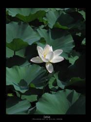 Lotus by Chromius
