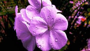 Fresh Purple Geranium by BGai