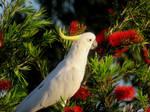 Sulphur Crested Cockatoo by BGai