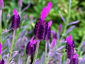Lovely Lavender by BGai
