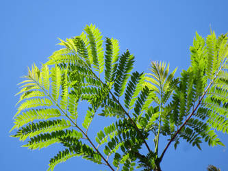 Jacaranda Leaves by BGai