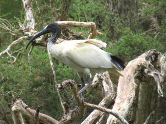 Australian White Ibis by BGai