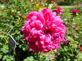 Pink Rose by InkTheEchidna