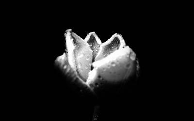 white tulip by Fleurine-Retore