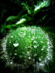 water poppy by Fleurine-Retore
