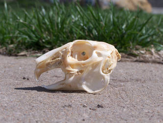 Rabbit Skull Side by TheMidasTouch