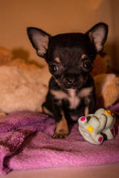My new Puppy! Chelsea by Negto