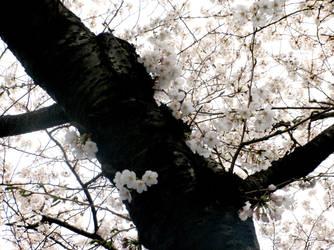 Cherry Blossoms by AkaneKimiko