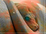Red Boa Constrictor by ROGUE-RATTLESNAKE