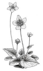 BB no.3: Grass of Parnassus by Vermin-Star