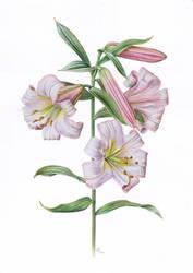 lily by gudzolga