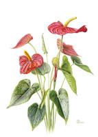 Anthurium andreanum by gudzolga