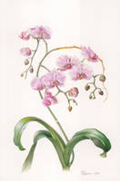 Phalaenopsis-3 by gudzolga